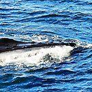 Humpback Whale Feeding by joevoz