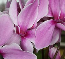 Cyclamens - 1 by Terry Rodger Smith