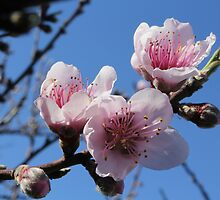 Cheery blossoms - 2 by Terry Rodger Smith