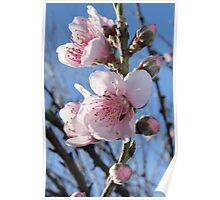 Cherry blossoms - 3 - Vertical Poster