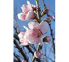 Cherry blossoms - 3 - Vertical Photographic Print