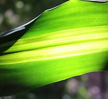 Sun shining through green leaf - 2 by Terry Rodger Smith
