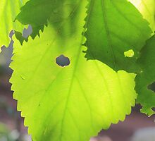 Sun shining through leaf - 4 by Terry Rodger Smith