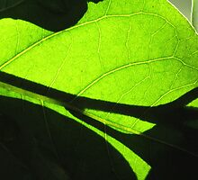 Sun shining through leaf - 5 Macro shot by Terry Rodger Smith