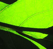 Sun shining through leaf - 6 Macro shot by Terry Rodger Smith