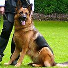 German Shepherd, a working dog by Heidi Mooney-Hill