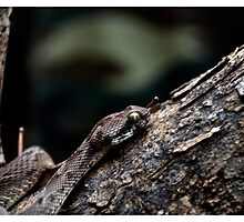 Saw-scaled Viper by stilledmoment