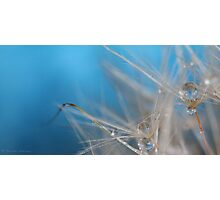 Dandelion blues II Photographic Print