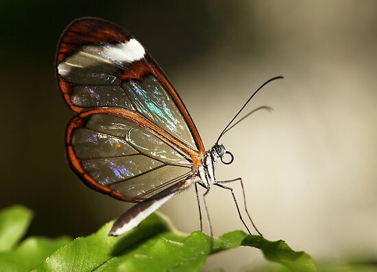 Glasswinged tropical butterfly by Grant Glendinning