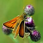 Small Skipper by Russell Couch