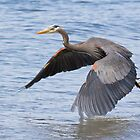 Great Blue Heron Launch by Tom Talbott