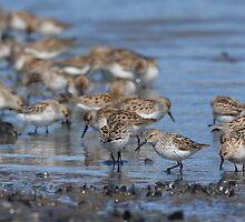 Beach Combers - Western Sandpipers by Tom Talbott