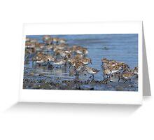Beach Combers - Western Sandpipers Greeting Card