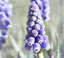 Grape Hyacinth by Shelly Harris