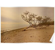 Lone Driftwood Tree on Beach  Poster