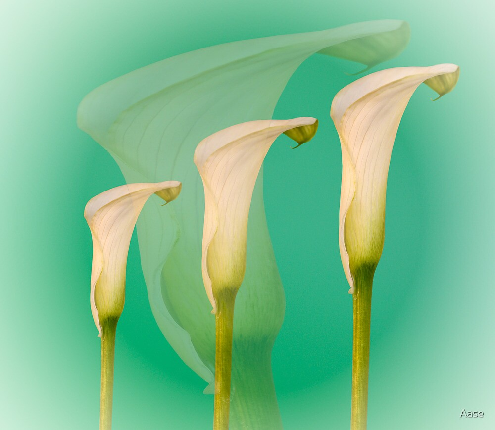 Calla by Aase
