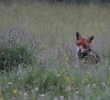 Fox in the Rain by Steve Adams