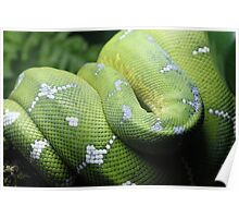 Green Tree Python Curled Poster