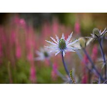 Thistle Grove Photographic Print