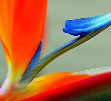 Bird of Paradise by Leon Heyns