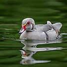 Silver Wood Duck by Daniel  Parent
