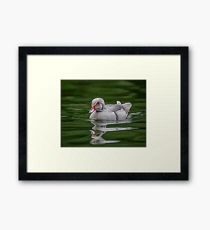 Silver Wood Duck Framed Print