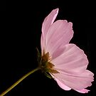 Cosmos Flower  by Ellesscee