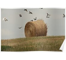 Hairy Hay Bale and Birds Poster