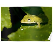 Young Green Anole Poster