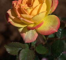 Chameleon Rose by tonysphotospot