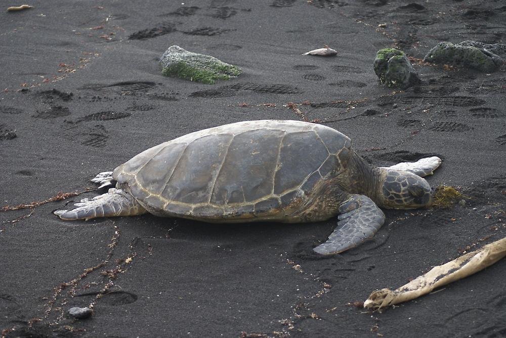 Beached Turtle by pixrit