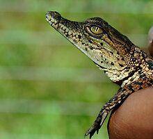 Holding Baby Crocodile by Kenji Ashman