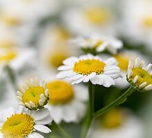 Daydreaming daisies by Celeste Mookherjee