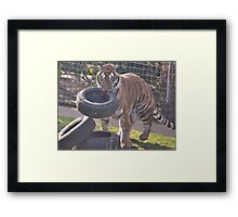 Tiger hunt Framed Print