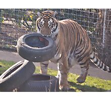 Tiger hunt Photographic Print