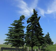 Two trees on the Alberta prairies by Jim Sauchyn