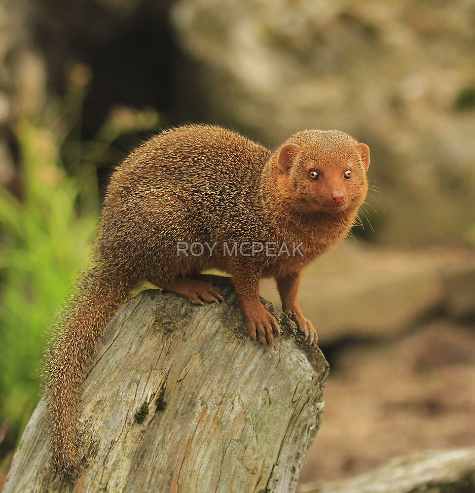 """Dwarf Mongoose "" by peaky40"