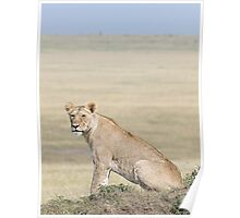 Lion in the Masai Mara Poster
