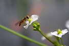 Hoverfly on tiny Flower of Mad-dog Weed by Jo Nijenhuis