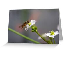 Hoverfly on tiny Flower of Mad-dog Weed Greeting Card