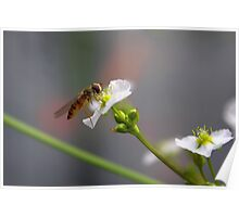 Hoverfly on tiny Flower of Mad-dog Weed Poster