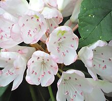 Mountain laurel blossoms by Mike Shell