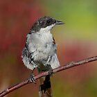 Flycatcher......... by Macky