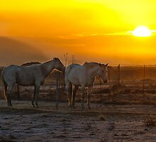 Stallions at Sunrise by Nobby31