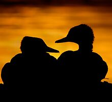Hooded Merganser Sibling Pair Silhouette. by Daniel Cadieux