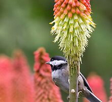Seeking Food (Popsicles?) - Black-capped Chickadee by Tom Talbott