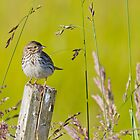 Savannah Sparrow on a Post by Tom Talbott