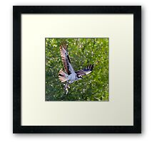 Osprey with Mudcat Framed Print