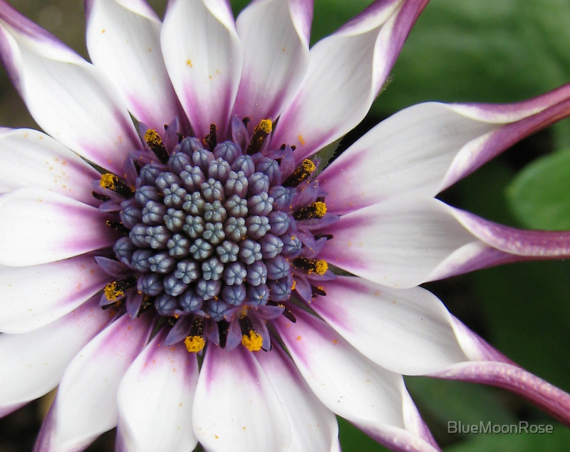 The Heart of a Cape Daisy by BlueMoonRose