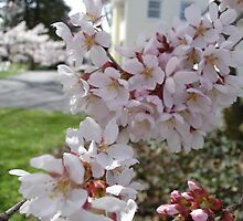 Cherry blossom framing the yellow house by leilagonzales